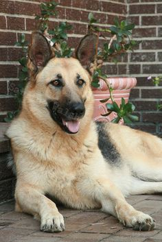 Jerry's loyal German Shepard, beautiful dog