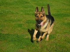 The Euthymic Dog: Fundadamentals Of Dog Obedience Training Dog Attack, Schaefer, German Shepherd Puppies, German Shepherds, Family Dogs, T Rex, Belle Photo, Dog Pictures, Dog Photos
