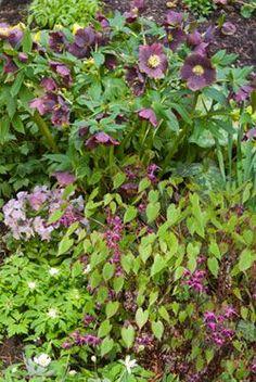 Hellebores with companion planting of epimediums, trilliums, violas & wood anemones
