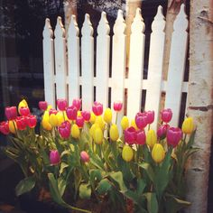 White fence and tulips!  Pretty!