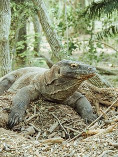 The Komodo Island Tour should be high on your bucket list. Island hop your way to the Komodo National Park and meet these giant lizards face to face. Komodo National Park, National Parks, Komodo Island Tour, Hotel All Inclusive, Komodo Dragon, Peru Travel, Machu Picchu, Gold Coast, Adventure Travel