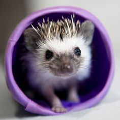 A small hedgehog walking through a purple tube.