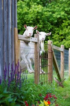Goats are popular animals to keep on an acreage, but what's your goal?