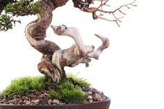 Bonsai artwork - Bonsai by Antony Smith from Willow Bonsai Store / Bonsai Addicts Club #bonsai #hobby #decorative #tree #photography #canon #canonphoto #protofoto #dalton #dingelstadphotography #throughmylens
