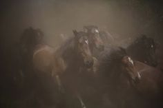 Wild horses on the run during the Rapa das Bestas event in the Spanish village of Sabucedo, in which hundreds of wild horses are rounded up, trimmed and groomed in the villages of Galicia Photograph: Miguel Vidal/Reuters