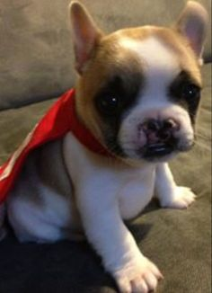 Lentil Bean, is a French Bulldog born with a Cleft Pallet, rescued from his breeder, and nursed to health. He has had only one operation to close his Pallet internally, and no corrective plastic surgery. Because of this decision, he has become the Ambassador for Children with Cleft Abnormalities, and travels to hospitals meeting these children. He's AMAZING, and look at that face!!❤
