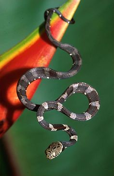 Blunt-Headed Tree Snake (Imantodes cenchoa)