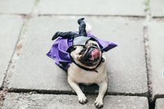 Lovely pug from Pug Team Kiev Party, 29 May 2016 #pugteamkyiv
