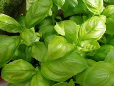 Basil is a standby in the herb garden. Grow the best basil -- indoors or outdoors -- with these herb growing tips from GoGardenGo Natural Mosquito Repellant, Mosquito Repelling Plants, Freezing Basil, Basil Health Benefits, Basil Leaves, Edible Plants, Edible Garden, Natural Treatments, Vegetable Garden