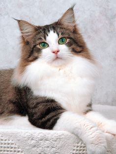 Norwegian Forest Cat. Now that's one gorgeous cat!
