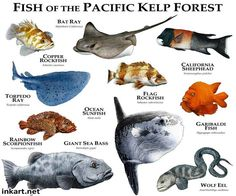 Fish of the Pacific Kelp Forest......ROGER D HALL.....a scientific illustrator specializing in wildlife and architectural subjects....predominantly self-taught....works with pen and ink....artwork has appeared in numerous media (newspaper, books, website, etc)....a Minnesota native now based in Oakland, California....associated with several zoos and aquariums in the US