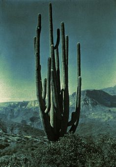 Did you know it takes a saguaro cactus 70 years to grow it's first arm? This beautiful thing has seen many moons.