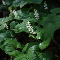 False lily-of-the-valley in bloom