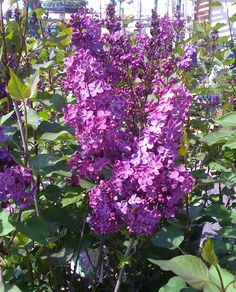 The Declaration lilac plant is a spring blooming, cold hardy shrub treating you to large clusters of deep reddish purple fragrant flowers.  Use this lilac as an informal screen or as a background shrub or specimen.  The blossoms from your declaration lilac make great cut flowers, so bring in lots of flowers to make colorful boquets indoors.  This blooming shrub grows to about 6 feet tall or clip to shape.  Also consider using in containers on sunny porch or patio.  The Declaration lilac…