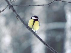 Great Tit Sikora bogatka Great Tit, Bird Feeders, Wordpress, Outdoor Decor, Animals, Fotografia, Animales, Animaux, Animal