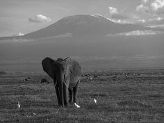 Elephant Mt Kilimanjaro Masai Mara National Park Kenya  Peter Adams