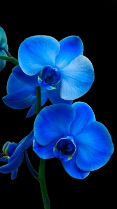 Wonderful Pics blue Orchids Suggestions Orchid, a new bloom involving classiness along with splendor elegance, offers over 700 types, above through 2 Royal Blue Flowers, Exotic Flowers, Beautiful Flowers, Orchid Wallpaper, Blue Flower Wallpaper, Orquideas Cymbidium, Blue Orchids, Orchid Care, Flower Seeds
