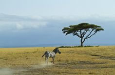 Zebra | Featured Friday Photo | Going Nomadic http://www.goingnomadic.com/lonely-zebra-featured-friday-photo/
