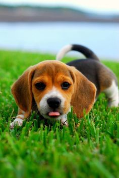 Such a cute Beagle puppy just laying in the grass... looking a little hungry!