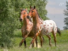 Two Young Wild Happy-Go-Lucky Trotting Chestnut Appy's.