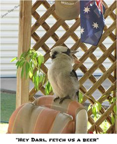 Kookaburra settling in for the afternoon Parrot, Bird, Funny, Photos, Animals, Parrot Bird, Pictures, Animales, Animaux