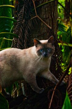 mostlycatsmostly:  Siamese Cat in Hawaiian Forest  (by Anjali Arts)