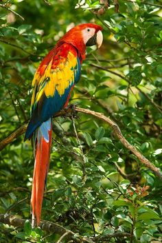 Esta belíssima coloração das araras a contemplar vai colorindo cada coração Que tem prazer em preservar.