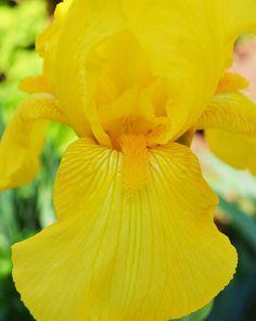 Yellow Iris Photo  ilovephotojojo