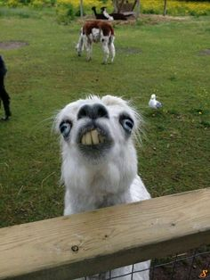 Funny pictures about This Llama At The Petting Zoo. Oh, and cool pics about This Llama At The Petting Zoo. Also, This Llama At The Petting Zoo photos. Funny Animal Jokes, Cute Funny Animals, Funny Animal Pictures, Animal Memes, Funny Dogs, Cute Dogs, Funniest Animals, Funny Animals Talking, Funny Faces Pictures