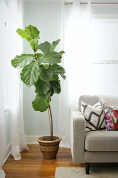 happy) decor fix wall color ficus tree indoor, fig plant indoor, big i Ficus Lyrata, Fiddle Leaf Fig Tree, Fiddle Fig, Fig Leaf Tree, Pot Jardin, Decoration Plante, Decorating Bookshelves, Green Plants, Artificial Plants