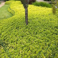 Photos and descriptions of some great groundcover plants. Groundcovers for shade, evergreen groundcover, wet site ground cover plants. Perennial Ground Cover, Ground Cover Plants, Reseeding Lawn, Lawn Repair, Lawn Fertilizer, Lawn Sprinklers, Lawn Maintenance, Container Gardening, Gardening Hacks