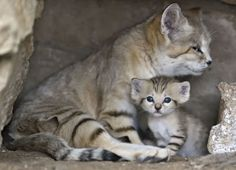 Omg, look at these little Tel Aviv Zoo sand kittens now... Looking like sand kittens—not like domestic kittens—with the ears! Still with the baby blues though. <3
