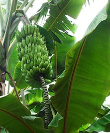 Banana trees have big lush leaves that provide gardens with a rich tropical look. The