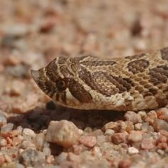 plains hog-nosed snake (Heterodon nasicus