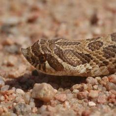 plains hog-nosed snake (Heterodon nasicus