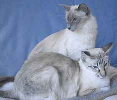 balinese cat | Balinese Cat Pictures and Info - Cats Breeds