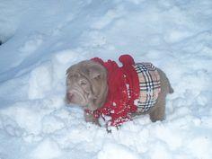 Snow Shar pei!