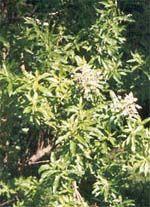 Cultivo de Cedron Yerba Mate, Plantar, Creative, Garden, Beauty, Vitamins, Trees, Herbal Medicine, Nature