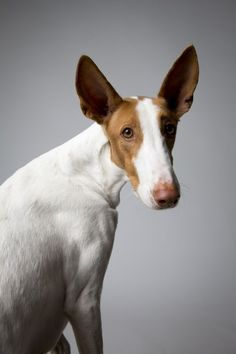 Podenco ibicenco. From the Dog Show