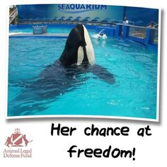 Lolita we will get you out of the hell hole #miami Seaquarium #blackfish #orca in smallest tank in N AMERICA VIOLATION OF USDA LAWS #seaworld stole at the age of 6 from the ocean and sold to #seacircus in #miami.