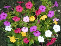 Four O'Clock flowers seed , Formula Mix (Mirabilis Jalapa ) Fragrant perennial Four Oclock Flowers, Yellow Flowers, Colorful Flowers, Pretty Flowers, Pink Yellow, Flowers That Attract Hummingbirds, Four O Clock, Time Clock, Plant Labels