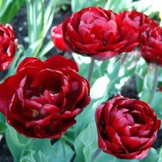 Order your top quality Tulip bulbs here! Red Plants, Tulip Bulbs, Daffodils, Nursery, Rose, Spring, Google Search, Tattoos, Tulips