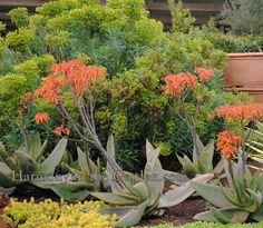 Aloe and Euphorbia Top 10 Favorite Orange Plants — Gossip in the Garden