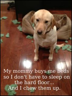 """""""My mommy buys me beds so I don't have to sleep on the hard floor... And I chew them up."""" ~ Dog Shaming shame - Bella Yellow Lab"""