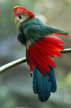 Red-crested Turaco ~ Photo by Earl Reinink: Earl Reinink, Animals, Red Crested Turaco, Beautiful Birds, Photo Kinds Of Birds, All Birds, Love Birds, Bird Types, Pretty Birds, Beautiful Birds, Animals Beautiful, Exotic Birds, Colorful Birds