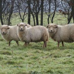 Three Portland sheep on a misty day. #Wovember2014
