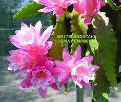 Epiphyllum hybrid 'Giant Empress'