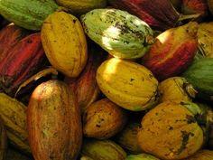 ¡Cacao de Chuao! VENEZUELA.