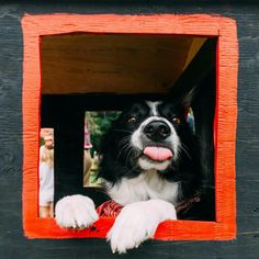 Momo is a border collie. Find Momo is a project by Andrew Knapp and Momo the hiding border collie. Border Collie Puppies, Collie Dog, I Love Dogs, Cute Dogs, Border Collie Pictures, Animals And Pets, Cute Animals, Mundo Animal, Fauna