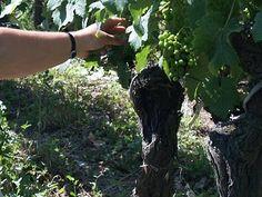 Effeuillage des vignes pour gagner en maturité des raisins #GourmetOdyssey